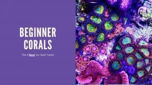 Beginner Corals
