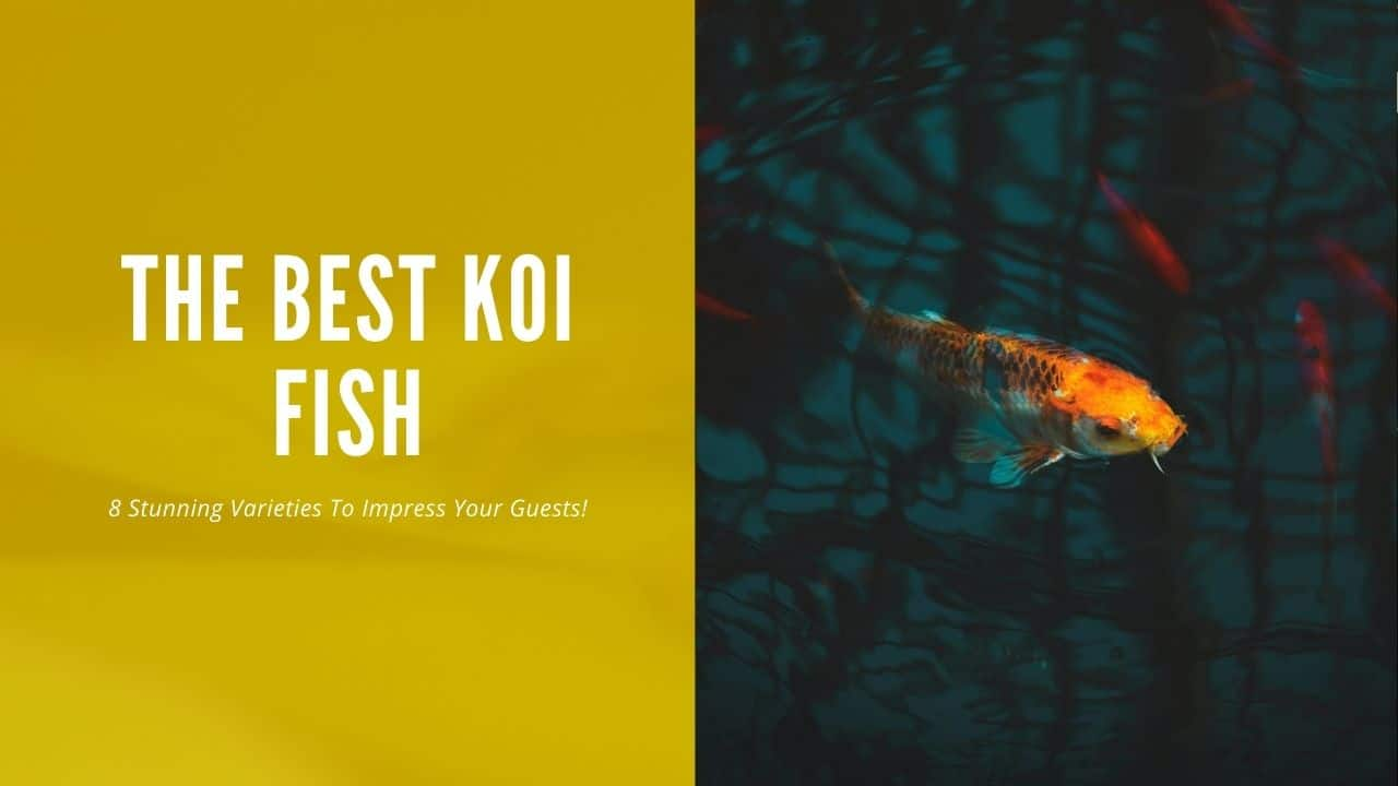 Best Koi Fish These 8 Will Impress Your Guests Aquariumstoredepot