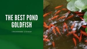 Best Pond Goldfish