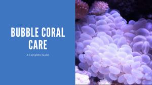 Bubble Coral Care