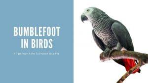 Bumblefoot in Birds