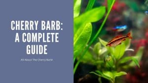 Cherry Barb