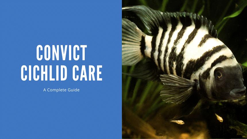 Convict Cichlid Care