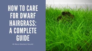 Dwarf Hairgrass Care