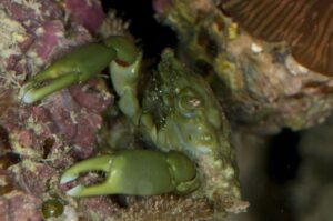 Emerald Crab - A Detailed Look At the Best Crab For Your Clean Up Crew