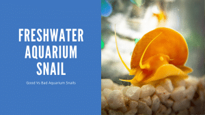Freshwater Aquarium Snail