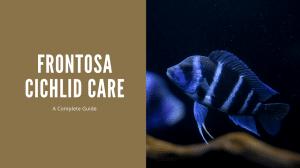 Frontosa Cichlid Care
