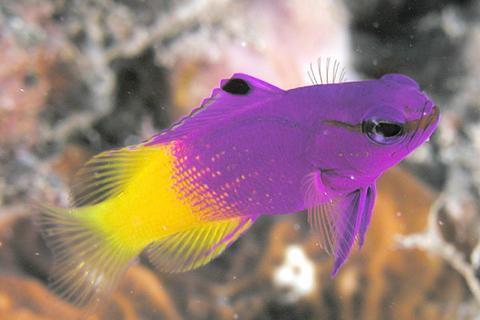 Royal Gramma - A Beautiful Fish That is Beginner Friendly