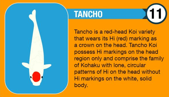 Tancho Koi
