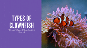 Types Of Clownfish