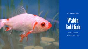 Wakin Goldfish Care